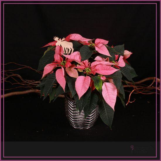 Poincetia rose