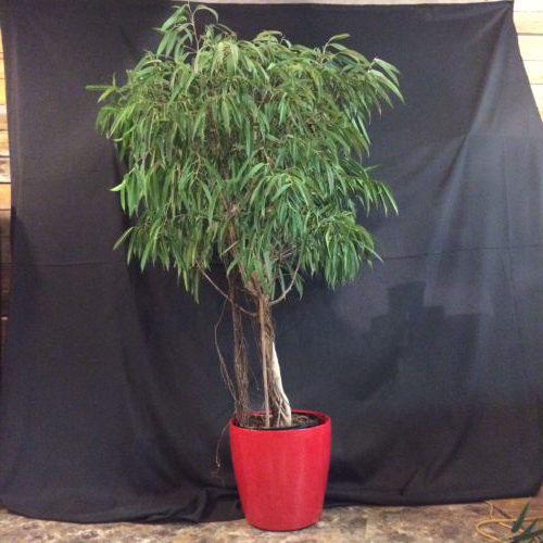 Ficus liane